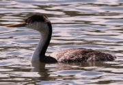 grebe-at-rest